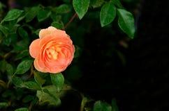 orangen steg Royaltyfria Bilder