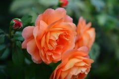 orangen steg Arkivfoto