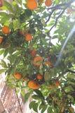 Orangen von Menton Lizenzfreie Stockbilder