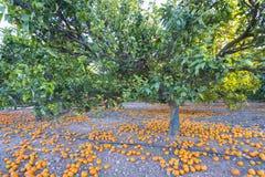 Orangenbäume lizenzfreies stockfoto