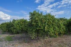 Orangenbäume stockbild