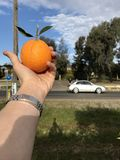 Orangenbäume in Griffith Stockbild
