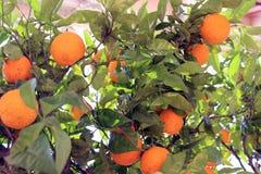 Orangenbäume Menton Stockbilder
