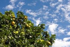 Orangenbaum Lizenzfreies Stockfoto