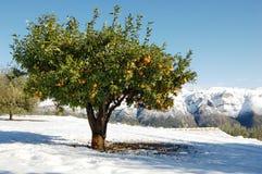 Orangenbaum Stockbilder