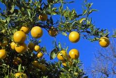 Orangenbaum stockfotos