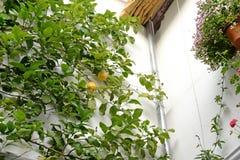 Orangenbaum auf einer Hausmauer Lizenzfreie Stockfotos