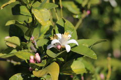 Orangenbaum-Blüten Stockfotografie