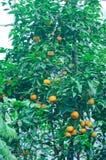 Orangenbaum in einem botanischen Garten Lizenzfreie Stockfotografie
