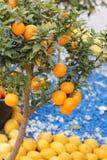 Orangenbaum Stockfoto