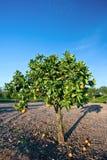 Orangenbaum im County, Kalifornien Stockfotografie