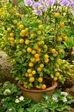 Orangenbaum im Garten Stockfotografie