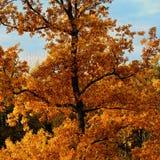 Orangenbaum im Herbst Lizenzfreie Stockfotos