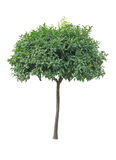Orangenbaum lokalisiert Stockfotografie
