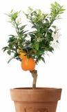 Orangenbaum mit Blumen Stockfoto