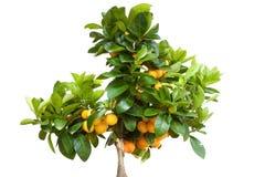 Orangenbaum mit der Frucht getrennt lizenzfreies stockfoto
