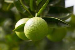Orangenbaum mit Früchten Lizenzfreies Stockfoto