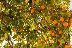 Orangenbaum mit Früchten auf seinen Niederlassungen stockfotografie