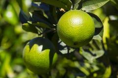 Orangenbaum mit Früchten reifen Stockfotografie
