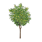 Orangenbaum mit unausgereiften Früchten Lizenzfreies Stockfoto