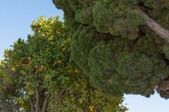 Orangenbaum nahe bei einem anderen Baum stockfoto