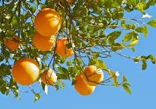 Orangenbaum, orangenbaum Stockfotos