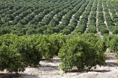 Orangenbaum-Plantage Lizenzfreie Stockfotografie