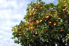 Orangenbaum in Rom Stockbild