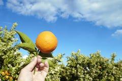 Orangenbaum und Frucht Lizenzfreies Stockbild