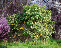 Orangenbaum in Zypern Lizenzfreies Stockbild