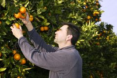 Orangenbaumfeldlandwirternte-Sammelnfrüchte Lizenzfreie Stockbilder