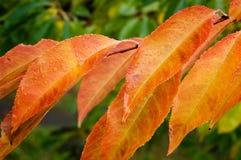 Orangenblätter mit Wassertropfen Stockfotografie