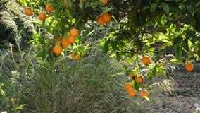 Orangenfrucht, die im Baum hängt stock footage