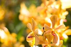 Orangenorchidee schön im Garten, thailändische Orchidee Stockfotos