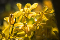 Orangenorchidee schön im Garten, thailändische Orchidee Stockfotografie