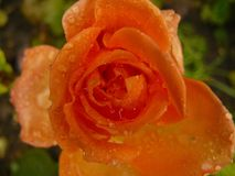 Orangenrose rief Queen Margarete an Stockbild