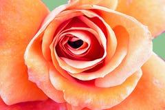 Orangenroseabschluß oben Stockfoto