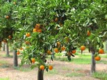 Orangeraie Images libres de droits