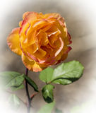 OrangeRose στοκ φωτογραφία με δικαίωμα ελεύθερης χρήσης