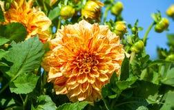 Orangerote Astern mit große Blumen Asteraceaedahlie cultorum Gradelija-Maurers stockfoto