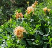 Orangerote Blumenastern Asteraceaedahlie cultorum Gradelija-Maurers in der Blüte lizenzfreie stockbilder
