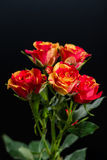 Orangerote Blumenstrauchrose auf einem schwarzen Hintergrund Lizenzfreies Stockfoto