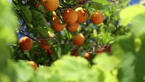 Orangery. Orange trees with fruits on plantation stock video