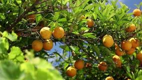 Orangery. Orange trees with fruits on plantation stock footage
