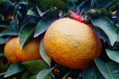 Oranges énormes Images libres de droits