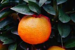 Oranges énormes Photos libres de droits