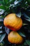 Oranges énormes Image libre de droits