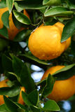 Oranges. Orange Tree royalty free stock photo