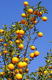 Oranges. Great oranges on a blue sky background Stock Photography
