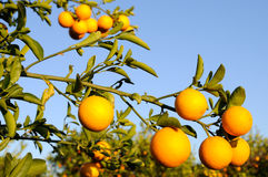 Oranges. Great oranges on a blue sky background Stock Image